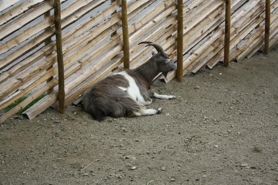 Polar Park: Lite trött get, orkade inte stiga upp, ens vända sig om...