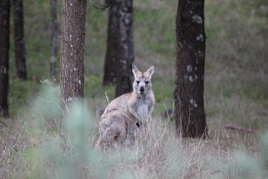 Flinders Ranges National Park: Another euro - be very careful in late afternoon-lots of wildlife