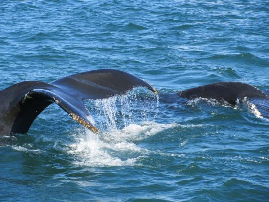 Brier Island Whale and Seabird Cruises: Humpbacks