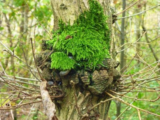 Beacon Wood Country Park: Unusual moss