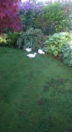 Orchard Cottage: Ducks looking for slugs in the garden