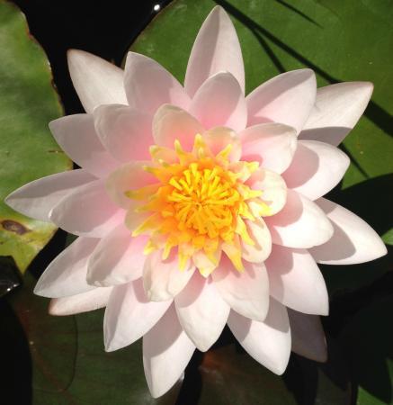 Agriturismo Bio Le Castellacce : fiore del loto nella piscina alle castellacce