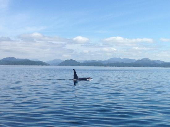 Mackay Whale Watching: un'orca