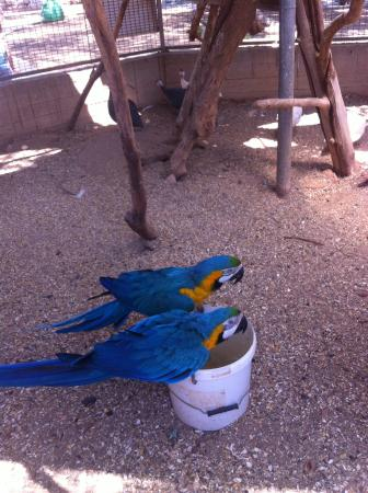 Ocean Aquarium: Brief sighting of the macaws while they had a drink