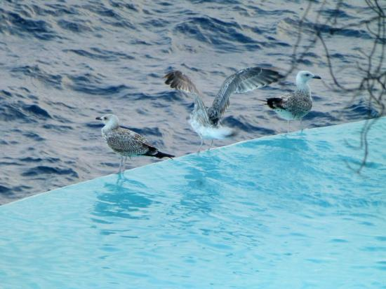 Les Roches Blanches: les goelands sur le bord de la piscine