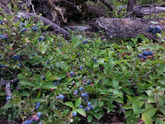 McCarthy's Party - Day Tours: Blueberry