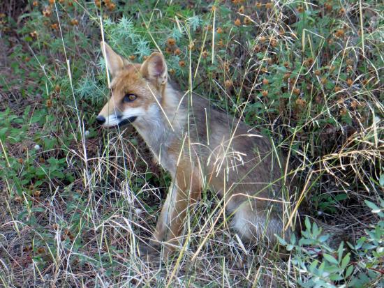 Parco Naturale della Maremma: volpe nella pineta