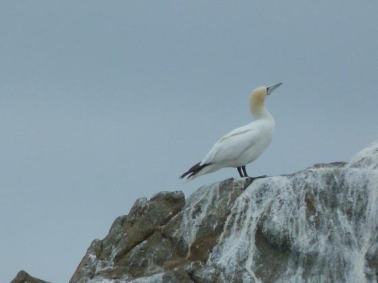 Réserve Naturelle des Sept Îles: Nesting Gannets