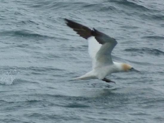 Réserve Naturelle des Sept Îles: Gannet in Flight