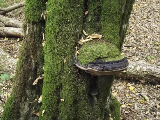 Bialowieza Forest: funghi degli alberi