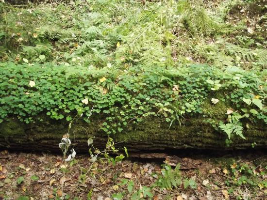 Bialowieza Forest: alberi in decomposizione