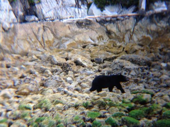 Tide Rip Grizzly Tours: un orso bruno