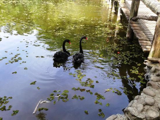 Botanical Gardens: Cisnes negros