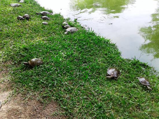 Botanical Gardens: Tartarugas no lago