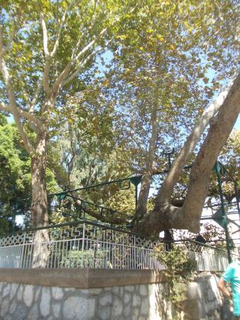 Hippocrates Tree: <platano