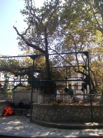 Hippocrates Tree: Platano di Ippocrate