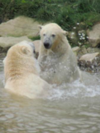 Yorkshire Wildlife Park: Mum and son polar bears having a play around