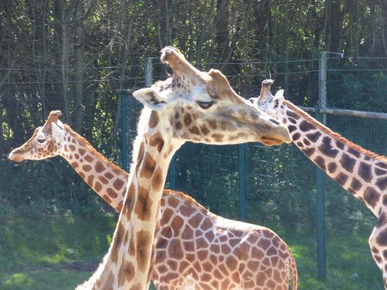 Blackpool Zoo: Lovely giraffes