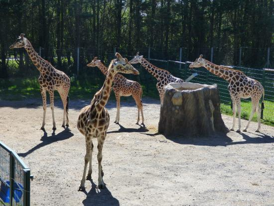 Blackpool Zoo: Giraffes!
