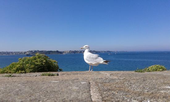 Les Remparts de Saint-Malo: gabbiano