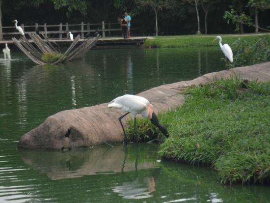 Mangal das Garcas: Jaburu ou Tuiuiú