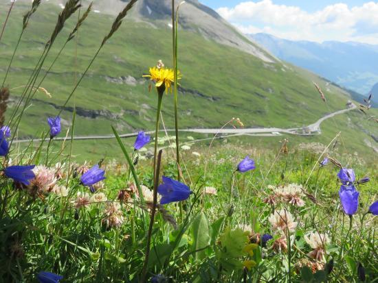Grossglockner-Hochalpenstrasse: Flowers of many kinds