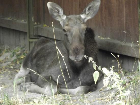 European Bison Reservation: alce