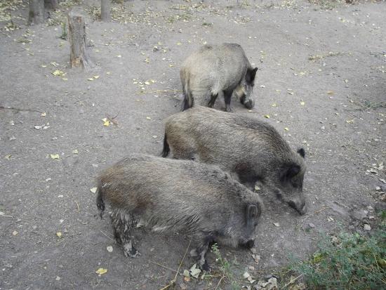 European Bison Reservation: cinghiali