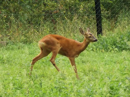 European Bison Reservation: capriolo