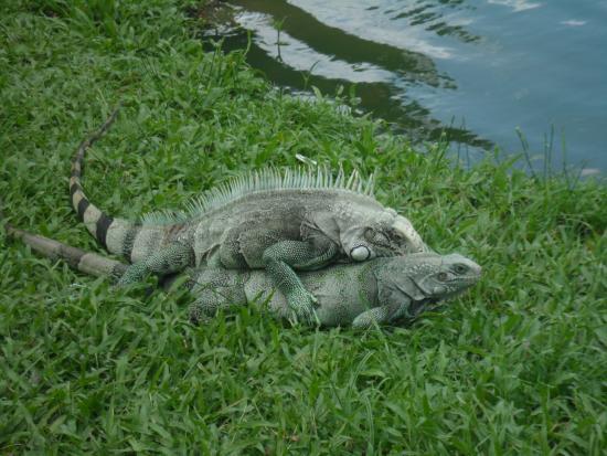 Mangal das Garcas: Iguana acasalando