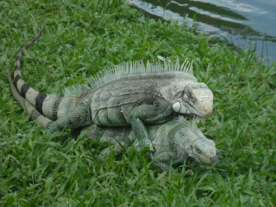 Mangal das Garcas: Iguanas acasalando