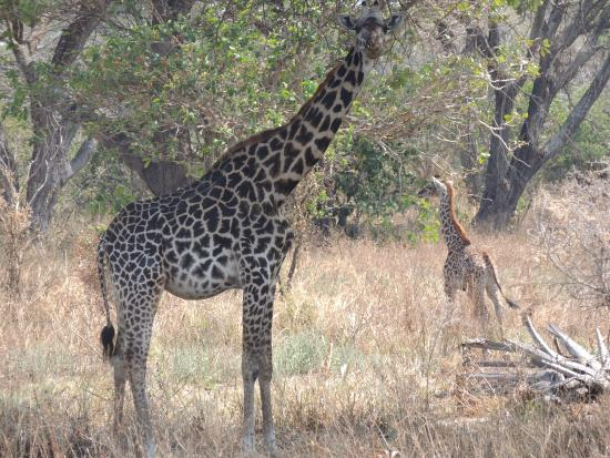 Katavi National Park: Mama and baby girrafe