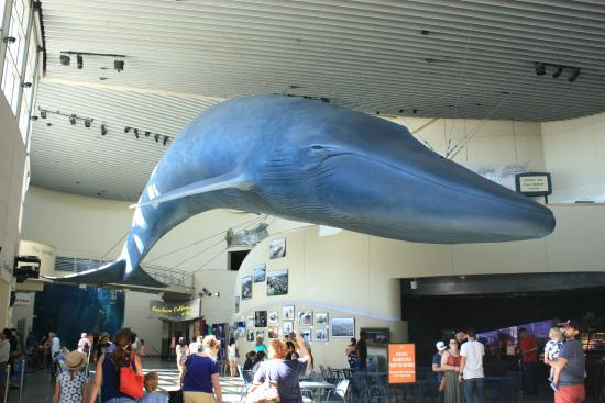 Blue Whale Picture Of Aquarium Of The Pacific Long