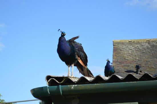 Barn Farm Camping: Peacock