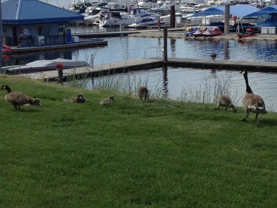 North Idaho Centennial Trail: Walking on the Centennial Trail seeing Canadian geese