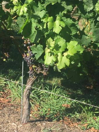 Sannino Vineyard B and B: Staying right in the vineyard