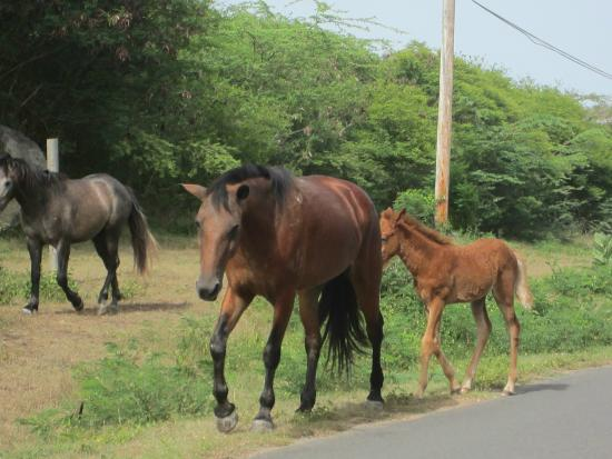 Isabel Segunda: Horses were loose all over the island, including the towns