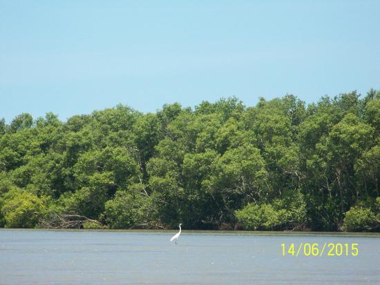Muthupet Lagoon: Great Egret ....