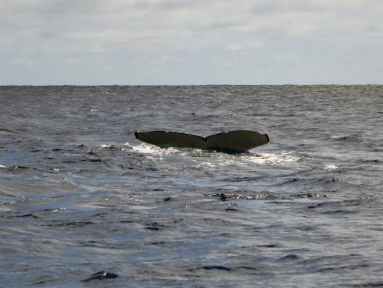 Beluga Diving Vava'u : humpback whale