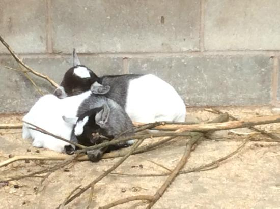 Blackpool Zoo: baby goats