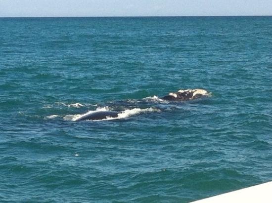 Hermanus, South Africa: Southern right whales