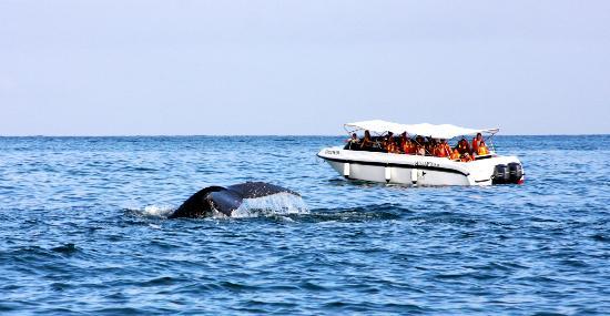 Iguanas Trips: Embarcación - Yate 2 motores para avistamiento de Ballenas Jorobadas
