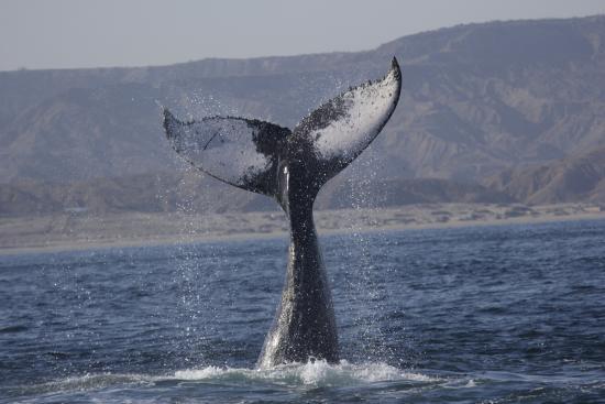 Iguanas Trips: Cola de ballena