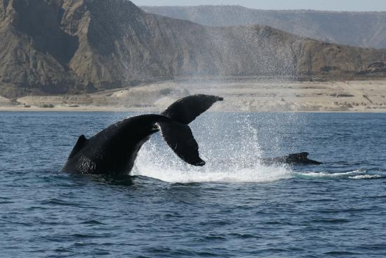 Iguanas Trips: Avistamiento de Ballenas