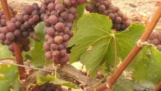 Vintners Inn: pinot grigio grapes