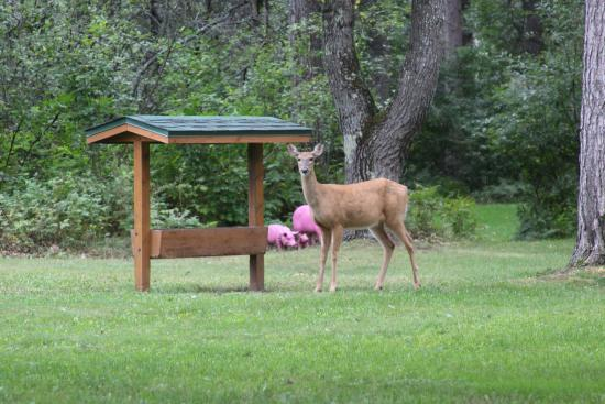 Rustic Manor Motor Lodge: A deer at the lodge feeder