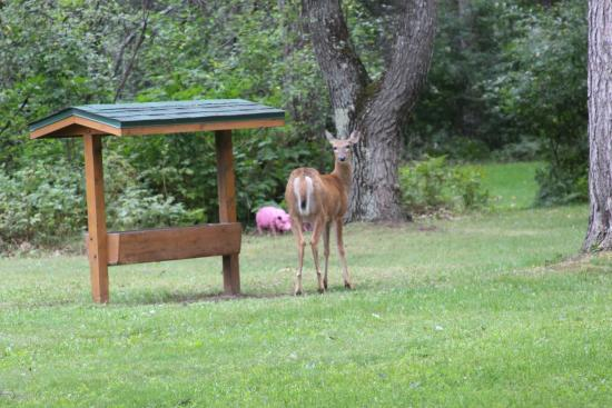 Rustic Manor Motor Lodge: The deer leaving the feeder