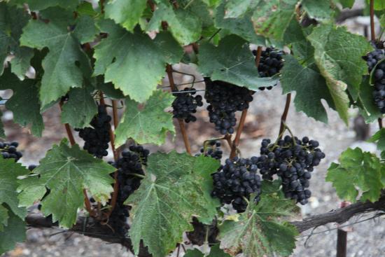 Hotel Pas de Cheville: Local vineyard