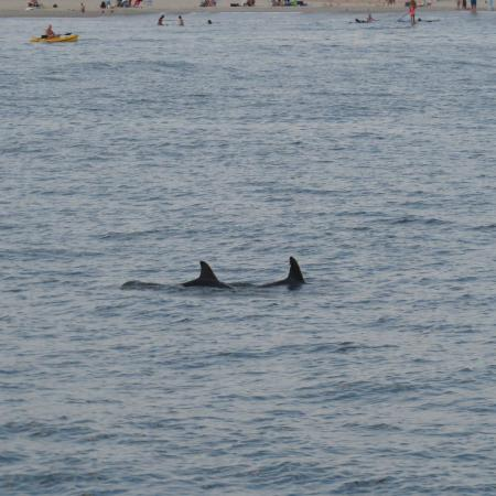 Cape May Whale Watch & Research Center : Dolphins feeding