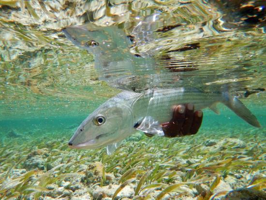 Turneffe Island, Belice: Turneffe Flats bonefish